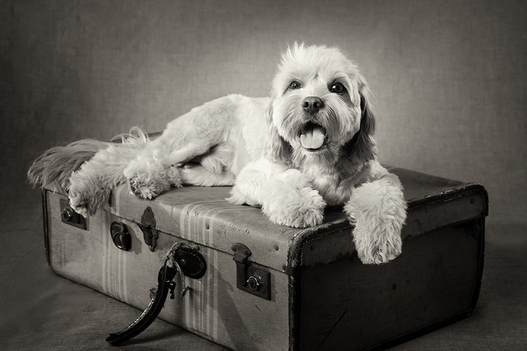 Cavoodle Black and White Dog Photographer Melbourne Studio Photography