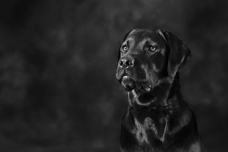 Labrador black and white dog photographer melbourne studio photography
