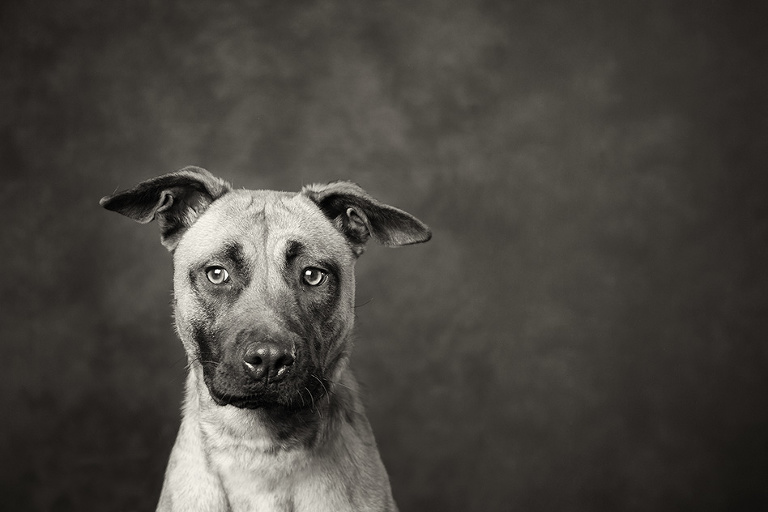 Victorian dog rescue group black and white dog photographer melbourne studio photography