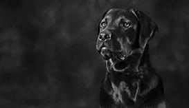 Black and White Dog PhotographerMelbourne Labrador Portraits